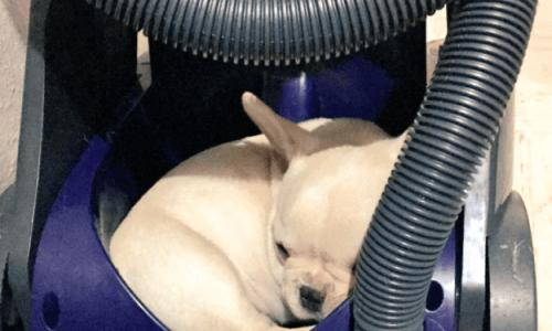 Photo of funny dogs that can fall asleep anywhere