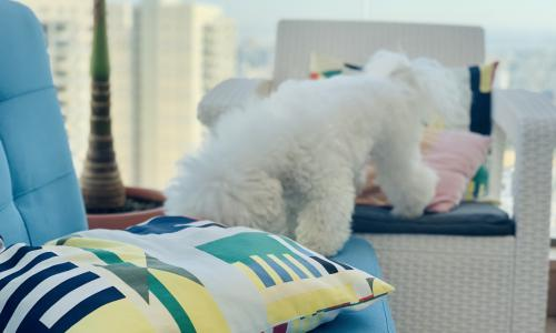 Everything for Bichon Frise in Israel