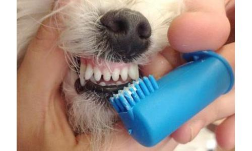 How to clean Bichon Frise teeth?