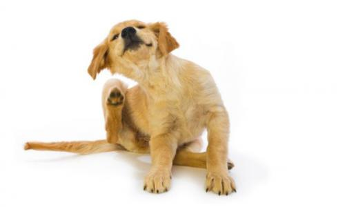 How to get rid of fleas from a dog?